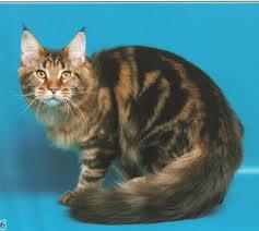 породы кошек мейн кун фото.